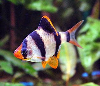 Tiger Barb Puntigrus Tetrazona Tropical Fish Tropical Fish Tanks Aquarium Fish