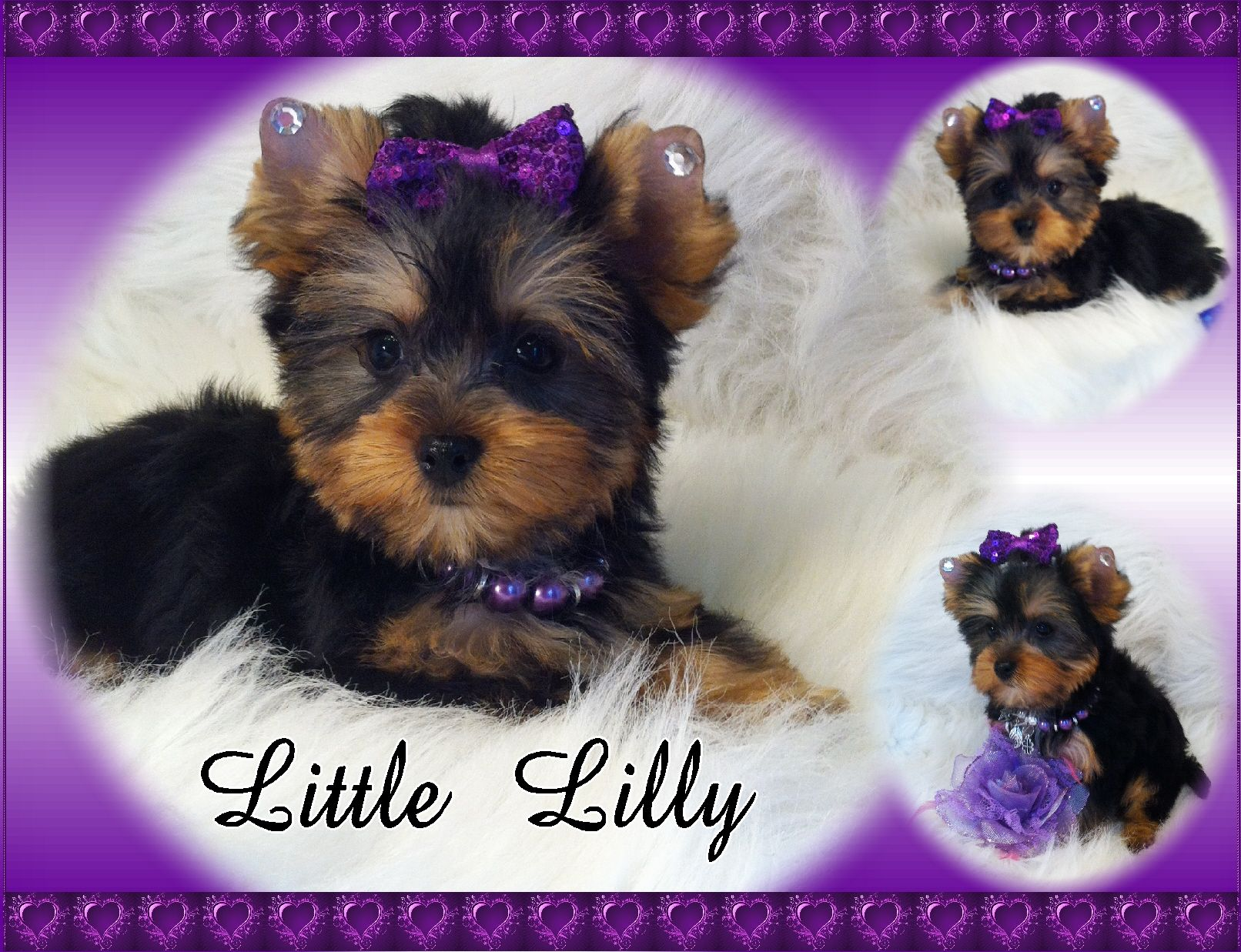 Yorkies By Elainea Yorkie Puppies for Sale dogs