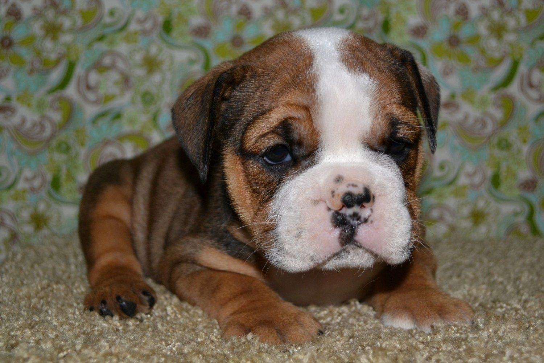 Pin By April Thatcher On Boxers English Bulldog Puppies Bulldog