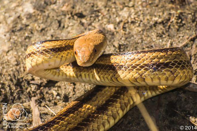 Wild Florida Rat Snake North American Wildlife Types Of Snake