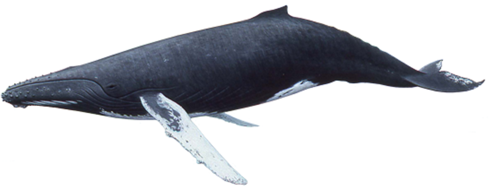 Art Illustration Oceans Seas Humpback Whales Megaptera Novaeangliae It Is One Of The Largest Whales Adults Have A Length O Whale Largest Whale Image