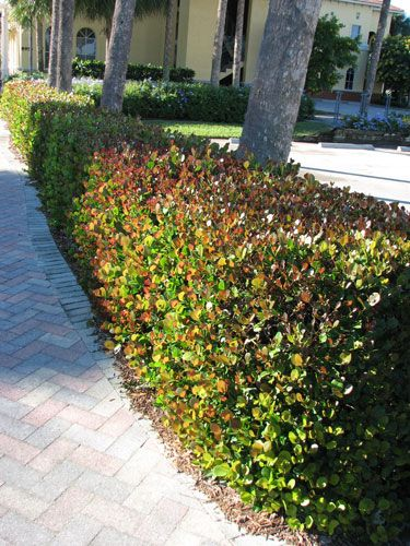 South Florida Hedge Plants V I Florida Landscaping