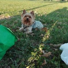 Usato / Seconda mano Yorkshire terrier toy 35cm 2,5 kg