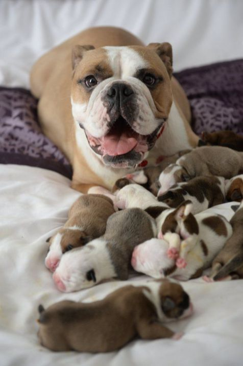 20 Images And Information About The Victorian Style Bulldog
