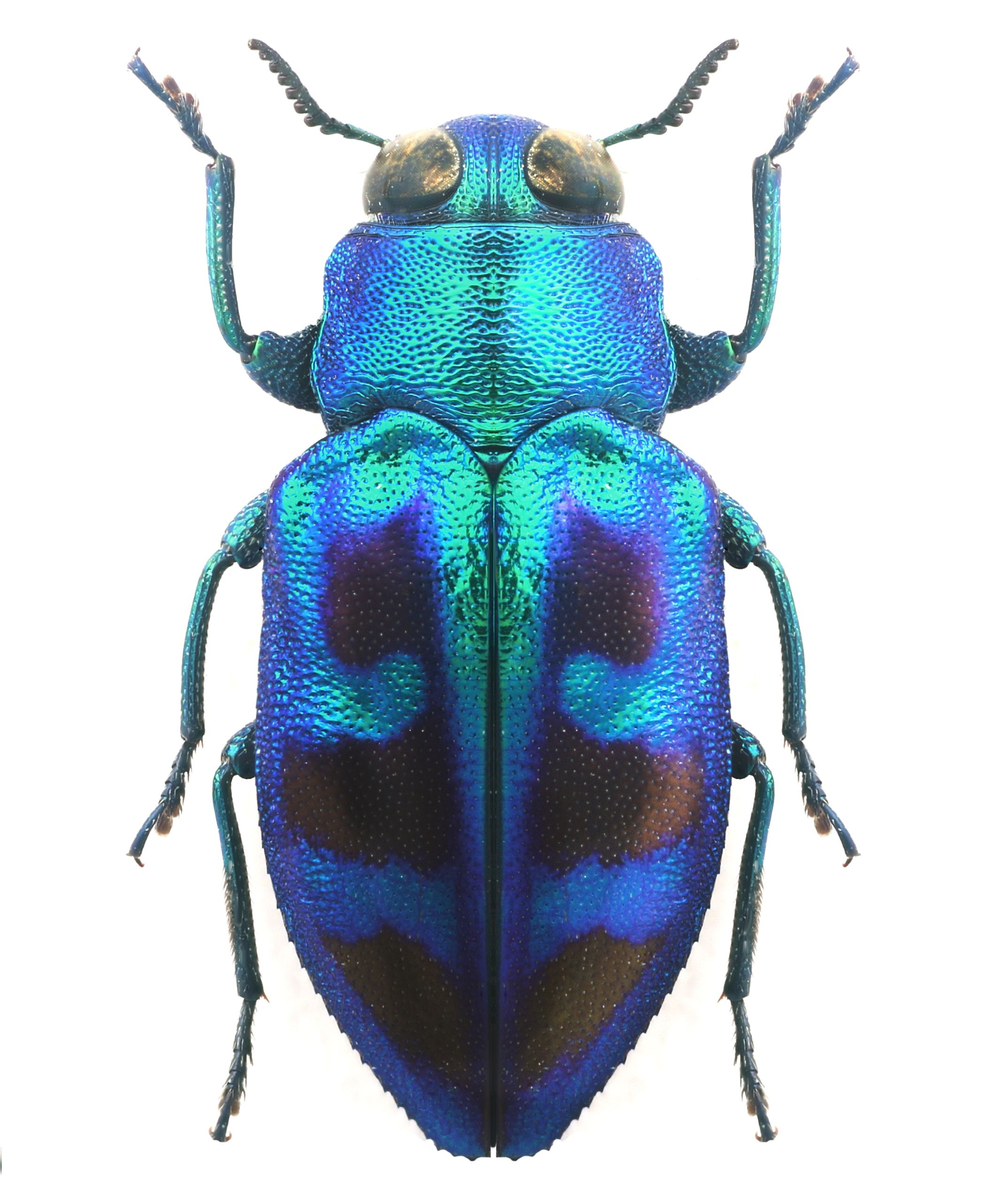 Картинка синего жука