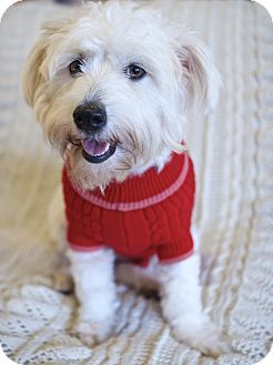 Madison, NJ Wheaten Terrier/Poodle (Standard) Mix. Meet