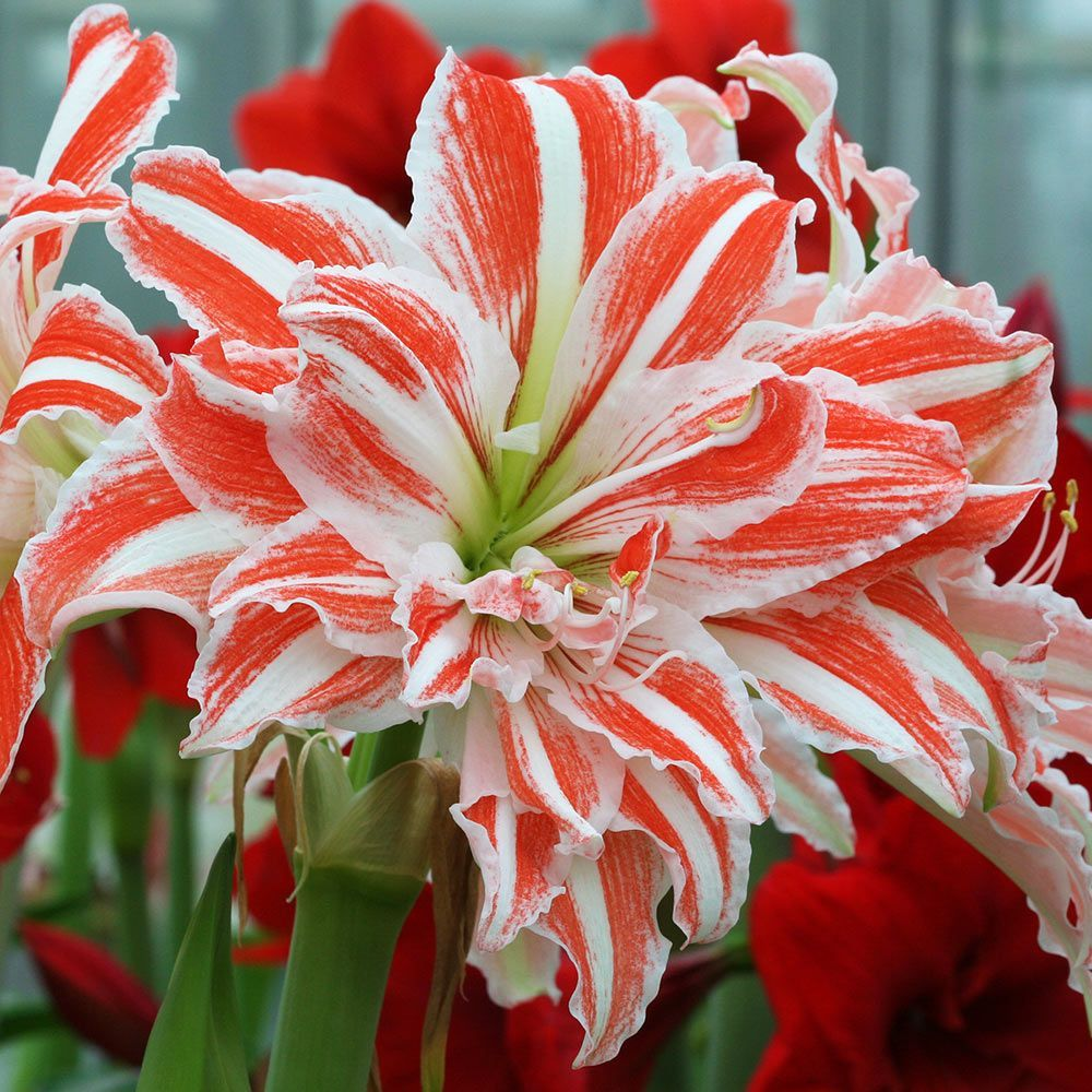 Amaryllis Dancing Queen Amaryllis Flowers White Flower Farm Amaryllis Plant
