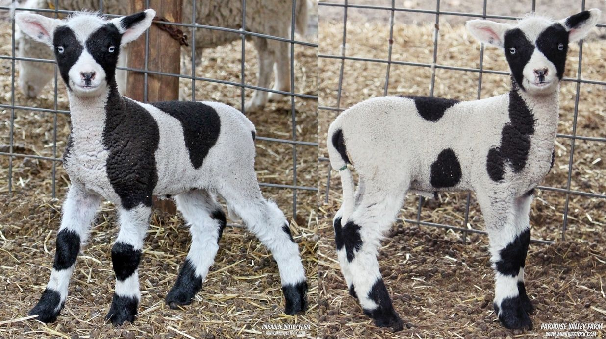 Mini Harlequin Sheep for Sale Sheep for sale, Pets for