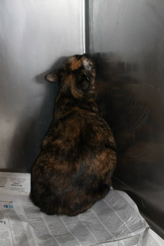 Rutherford County NC Shelter Cat Urgent Terrified