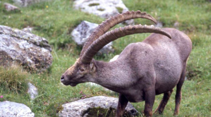Ibex All The Animals In The World Ibex, Ibex goat, Animals