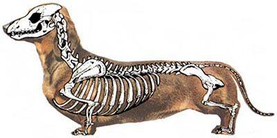 How To Properly Pick Up A Dachshund Dog Anatomy Dog Skeleton Dachshund Dog