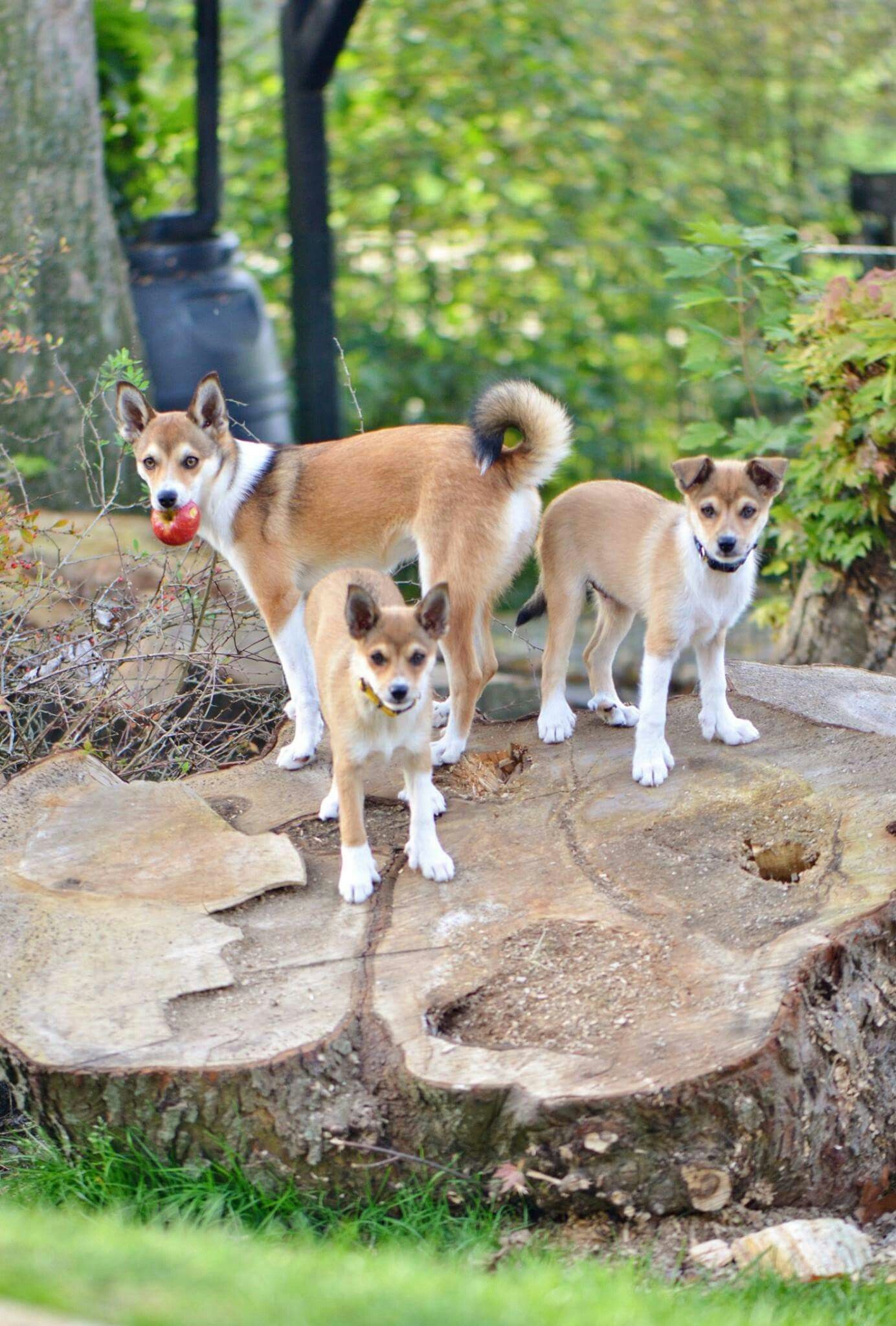 Norwegian Norsk Lundehund Puppies Adult With Apple Wwwvorkosmia