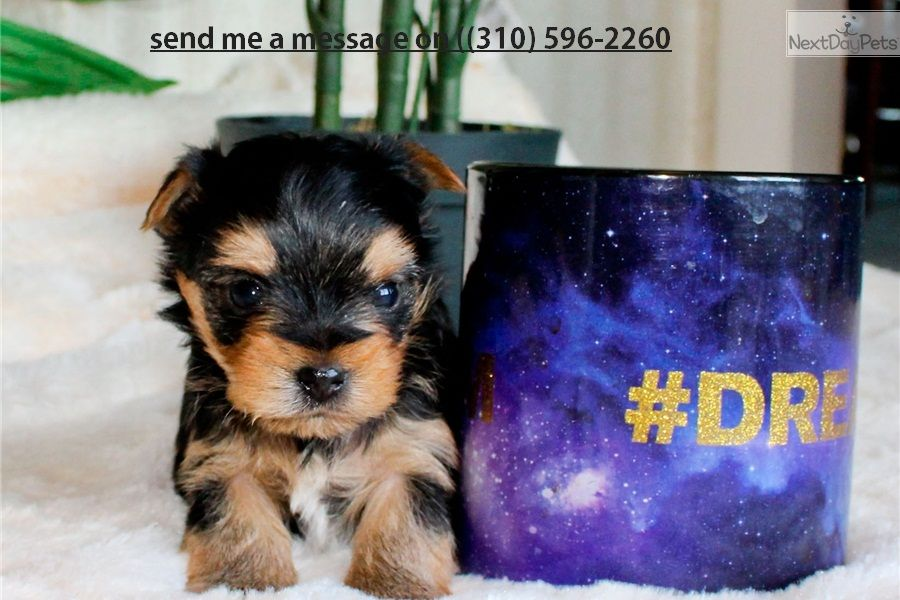 Beautiful Teacup Yorkie Puppies For Adoption 12 Weeks Old Great Pup Very Healthy And Charming Cu Teacup Yorkie Puppy Yorkie Puppy Yorkie Puppies For Adoption