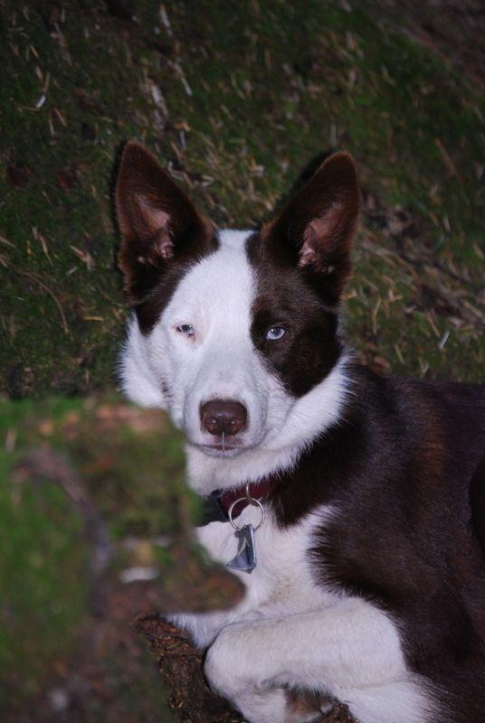 Lost Dog Alert Lad Brown White Border Collie Lost 5 12 In Eugene Or Losing A Dog White Border Collie Pets