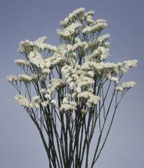 Caspia White Botanical Name Limonium Sinuatum Million White Filler Flower Flowers Flower Names Floral Flowers