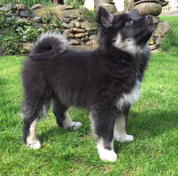 Neue Seite Hunde Tiere Islandhund