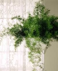 Asparagus Fern With White Flowers And Purple Tulips Hanging Plants Asparagus Fern House Plants