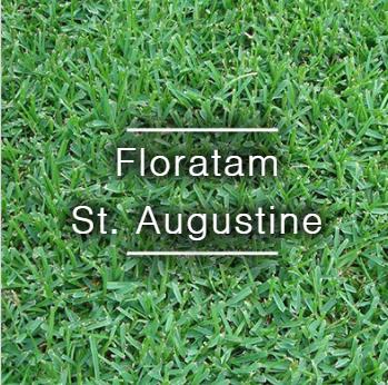 Floratam St Augustine Sod St Augustine Grass Sod Drought