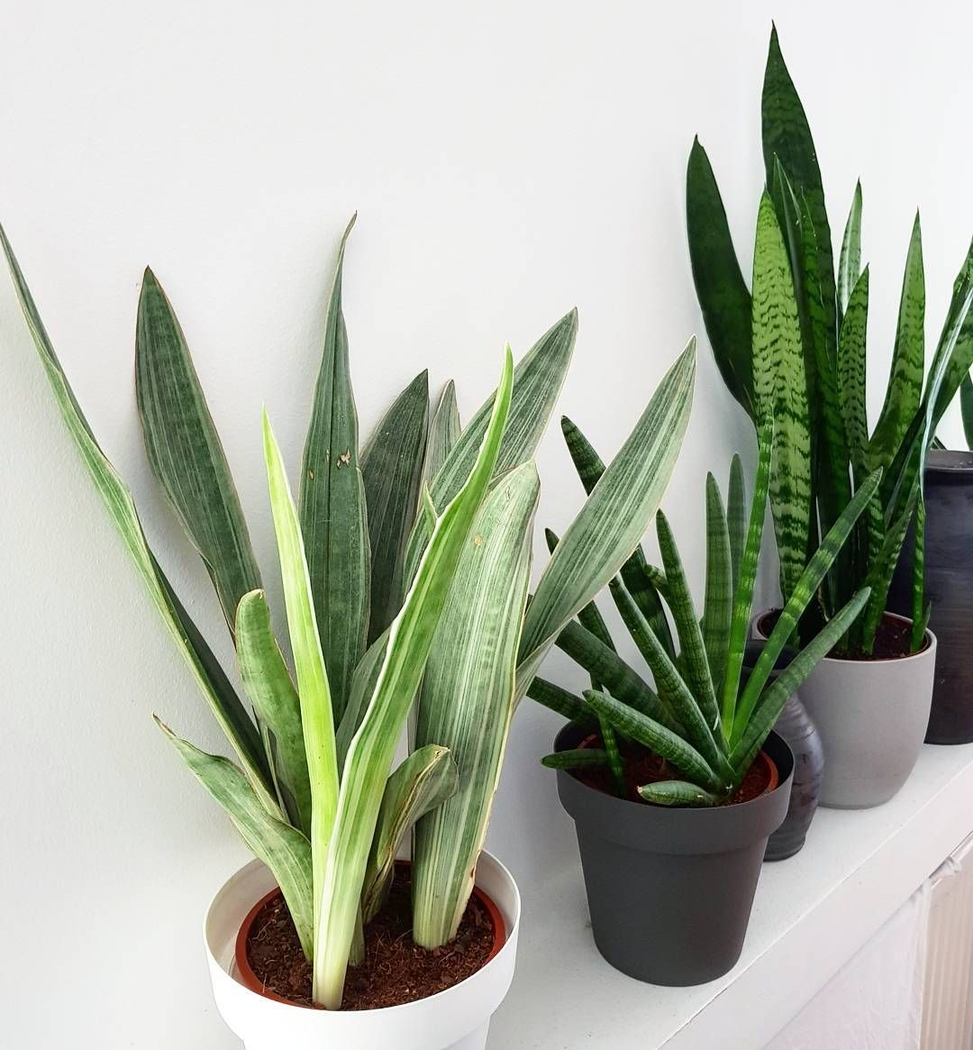 Though to some the appearance of the Sansevieria might not ...