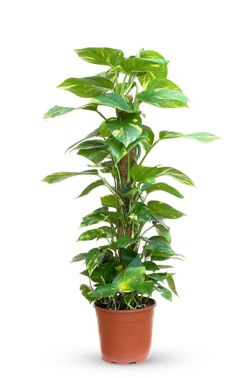 Epipremnum Nie Ma Prawie Zadnych Wymagan Pnacze To Jest Dobre Do Polcienia Znosi Nieregularne Podlew Money Plant Indoor Ivy Plant Indoor Air Purifying Plants