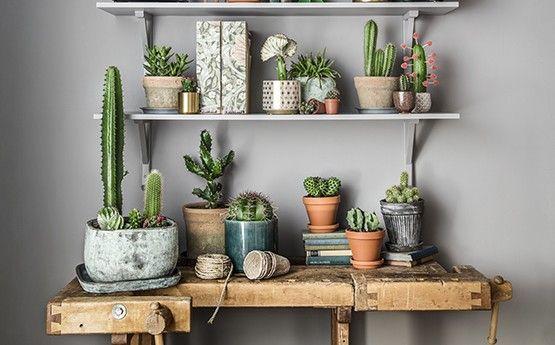 Kaktus – paljon muutakin kuin piikkejä