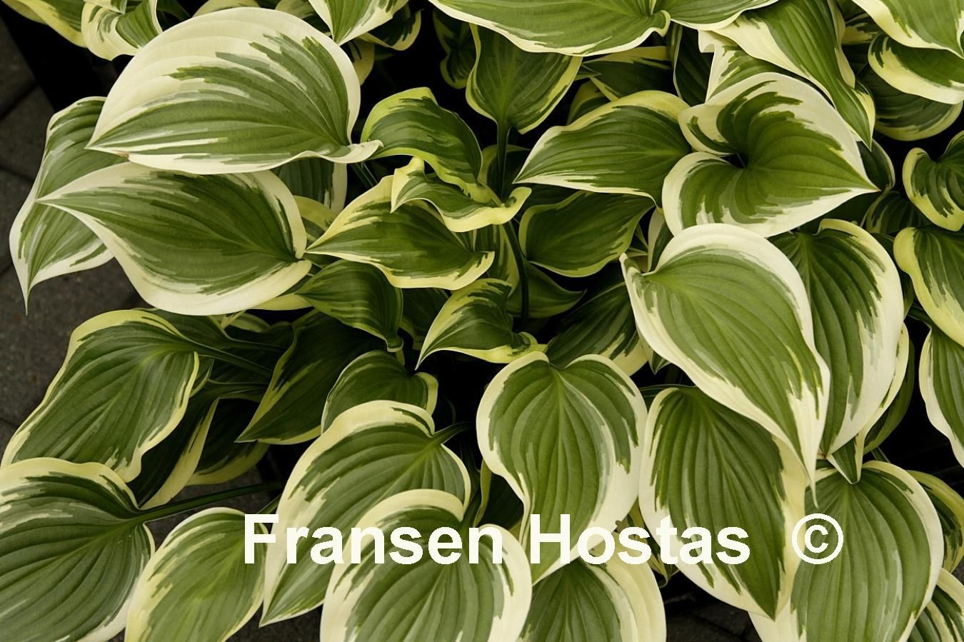 Hosta Emily Dickinson Small - can take sun  just one  purchased 2013 Mason Hollow Nursery, Mason, NH //2015 divided and put in backyard full sun bed w/winterberries