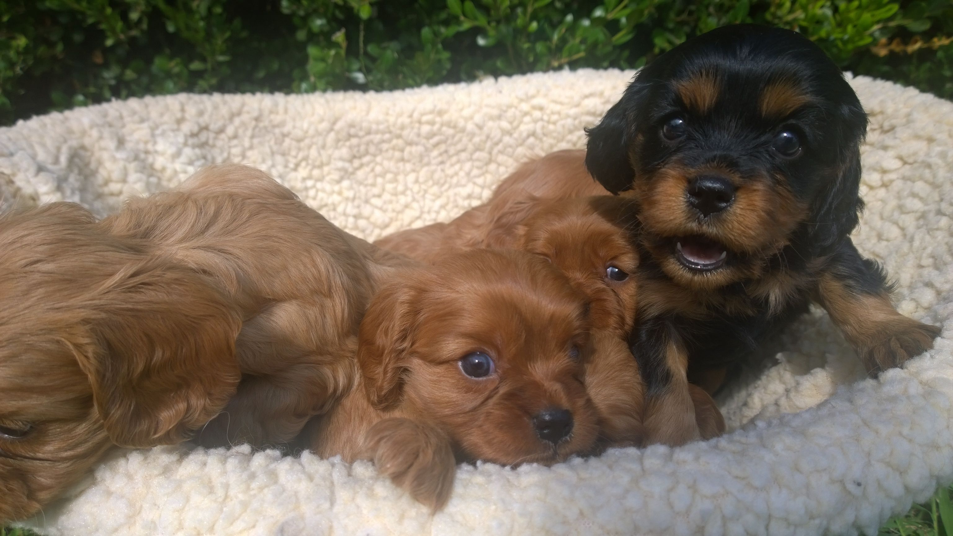 teacup cavalier king charles spaniel puppies for sale florida