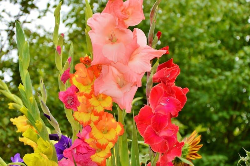 How To Grow Gladiolus And Add Color To Your Garden Gladiolus Flower Gladiolus Flower Bulbs Garden