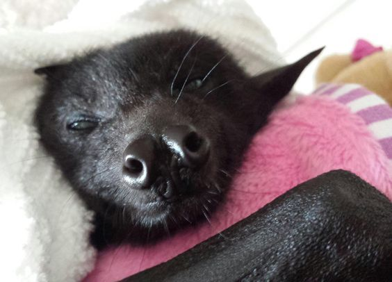 Flying bat baby in rehab.  Just a little sleepy!