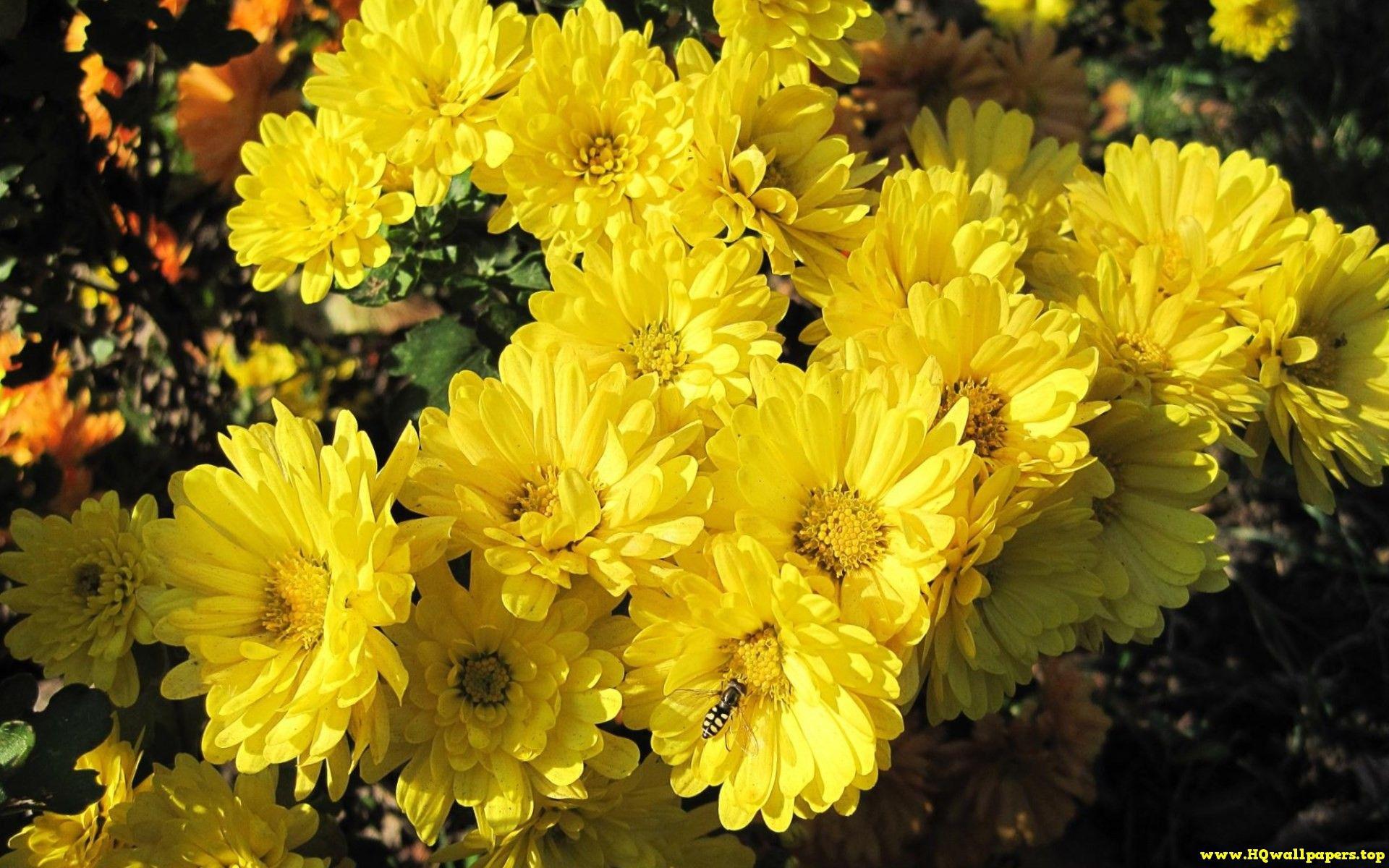 Chrysanthemums HQwallpapersp Pinterest Chrysanthemums