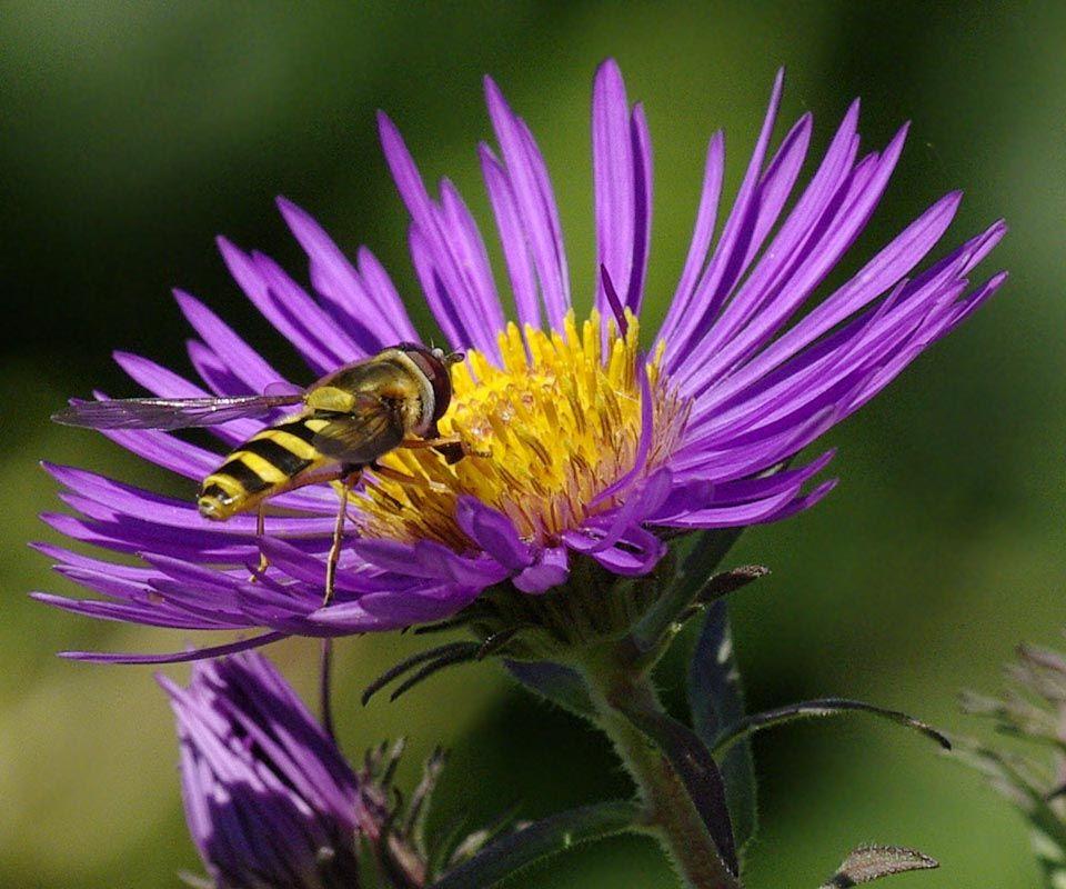 New England Aster And Bug Friends Bee Garden Aster Flower Landscape Materials