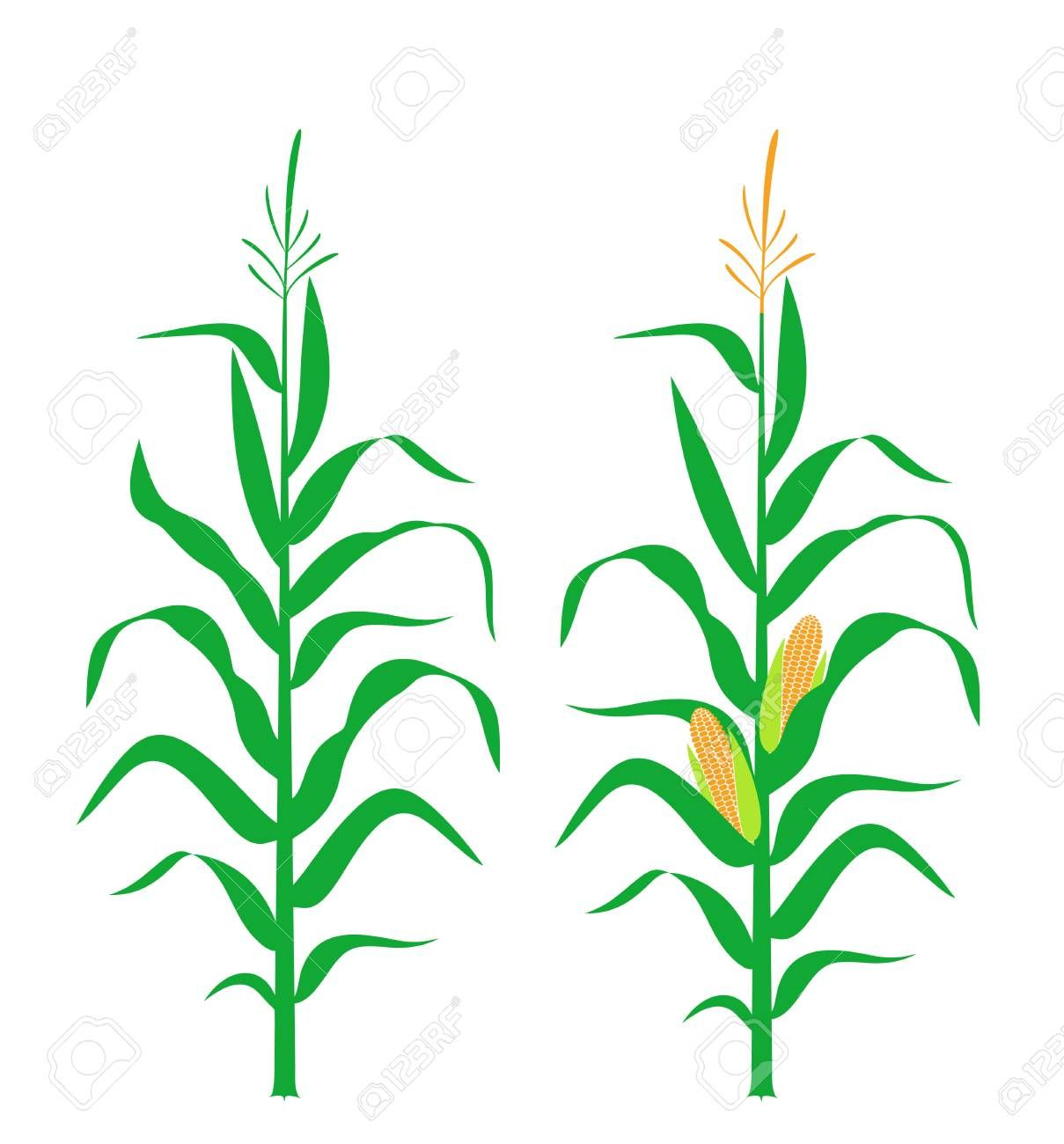 Corn Stalk : This is the official beginning of the agriculture series.