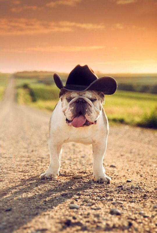 Cowboy Bulldog Bulldogs Life Bulldog Wallpaper English