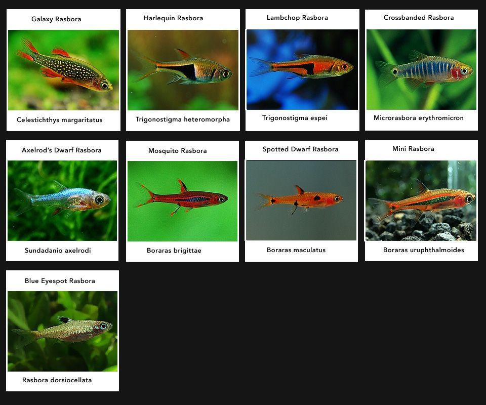 Rasbora Varieties Colourful Peaceful Community Fish Hardy Swim Towards Top Of Tank Schooling Tropical Fish Aquarium Tetra Fish Tropical Freshwater Fish