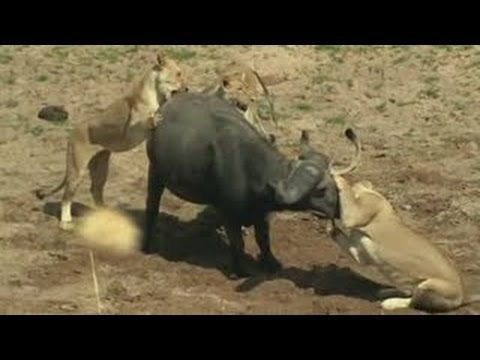 Documental de Leones - Leones vs Búfalos - Enemigos Intimos - National G...