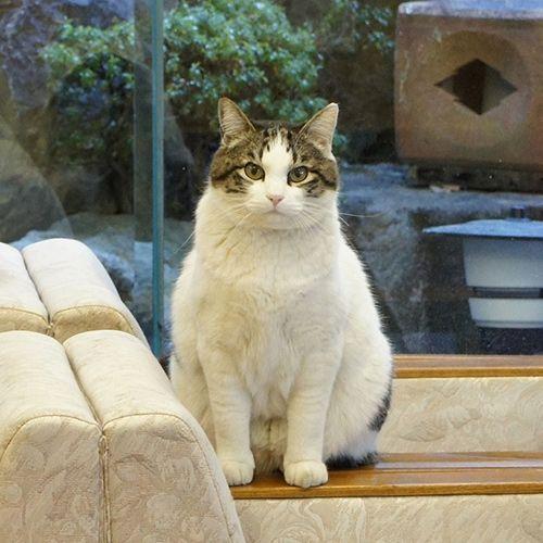 2021年 全国の宿 自慢の看板猫ランキング 楽天トラベル 猫 ホテルの看板 子猫