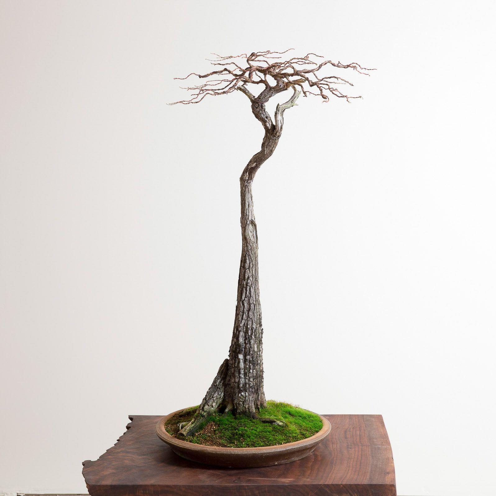 Bald Cypress Bonsai Mirai Beautiful Things Pinterest Wiring