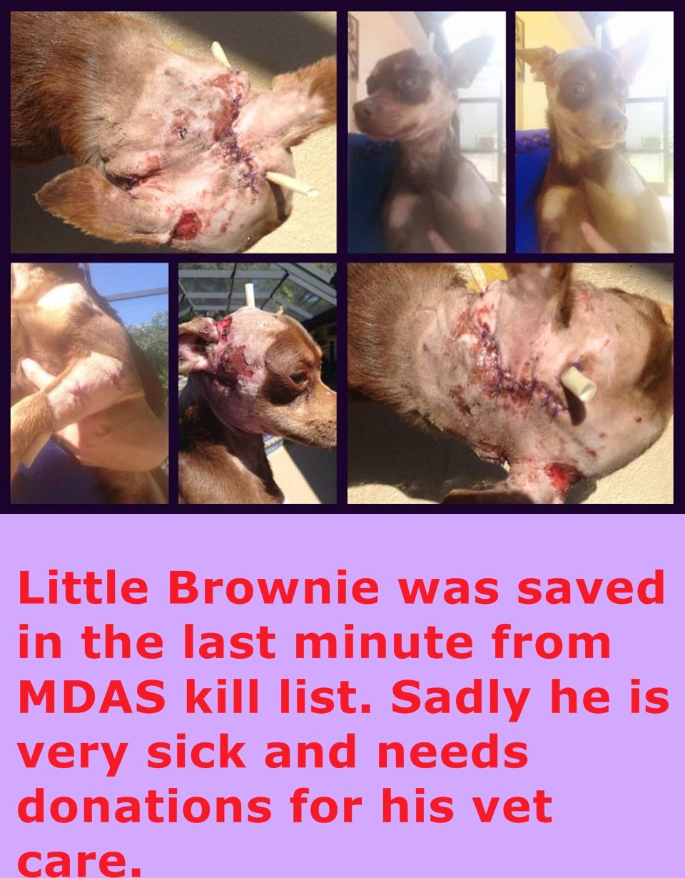 BROWNIE - ID#A1682972 was rescued from MDAS. He was In hospital from Sunday till today on cage rest, 3 hours of reconstruction surgery He was very anemic full of worms Almost died. Has 3 drains in 3 different eye drops to save his eye 2 different pain meds He needs help with funding, please donate and please share!! Truefaithfulrescuemission@gmail.com https://www.facebook.com/urgentdogsofmiami/photos/pb.191859757515102.-2207520000.1425499761./938460236188380/?type=3&theater