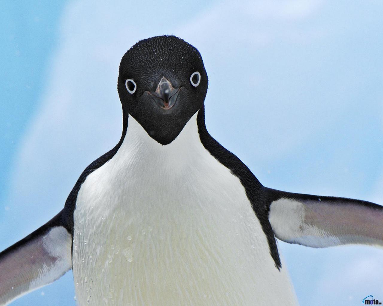 Pingüinos En Peligro De Extinción Por Cambio Climático Pingüino Divertido Animales En Peligro De Extincion Especies De Pinguinos