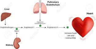 Výsledok vyhľadávania obrázkov pre dopyt renin aldosteron angiotensin system