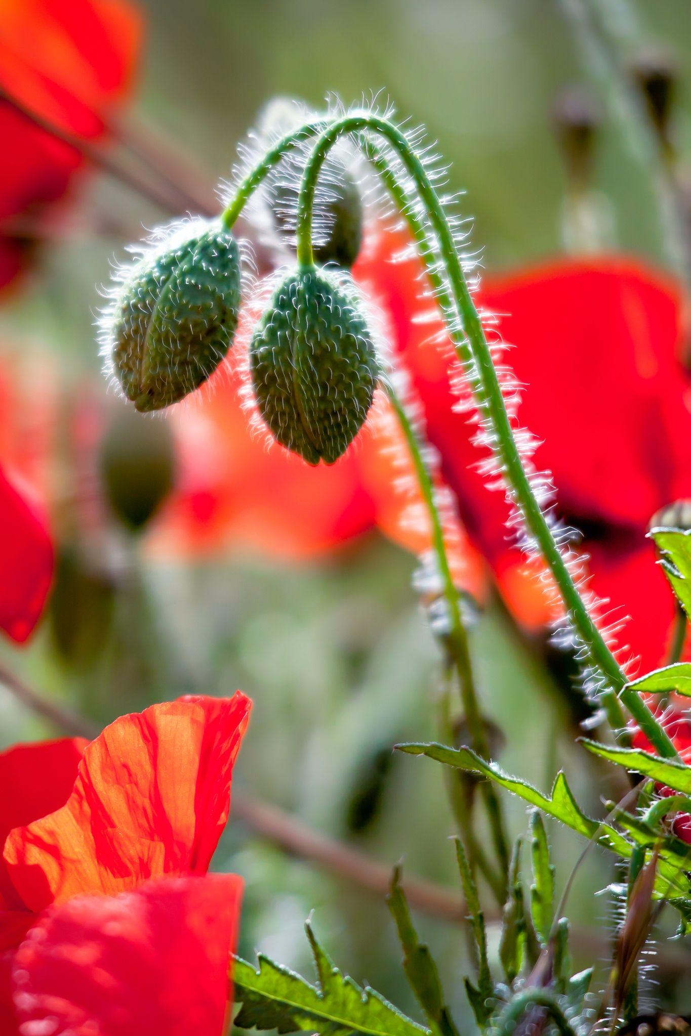 Feld Der Mohnblumen In Sussex Von Phil Vogel Lrps Cpagb Auf 500px Poppy Field Poppies Flower Garden