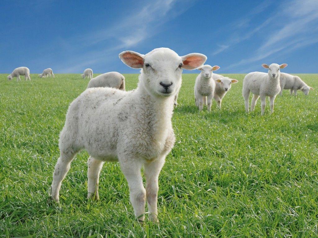 Family Lambs Sheep Farm Animals