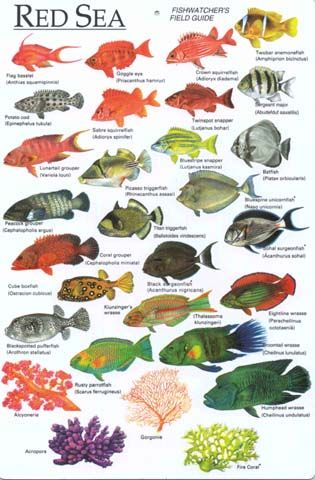 Red Sea Fish Identification Chart Sea Fish Fish Chart Ocean Creatures