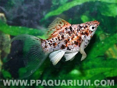 Platy Variatus Snow White Xiphophorus Variatus Aquarium Fish Molly Fish Tropical Freshwater Fish