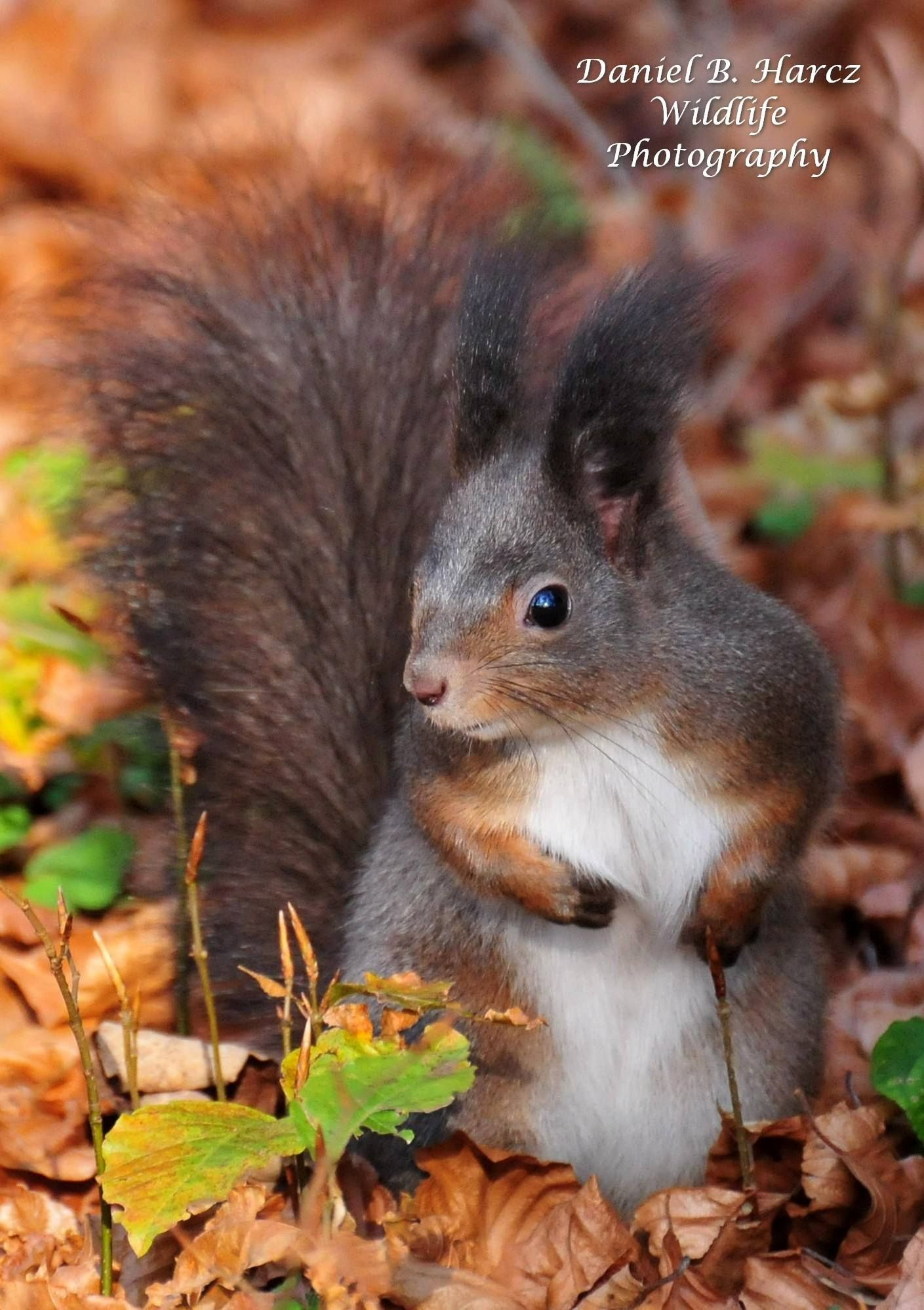 Squirrel and Fox facebook Squirrel, Cute squirrel, Chipmunks