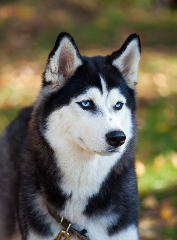 Should You Shave Your Double Coated Dog Husky With Blue Eyes