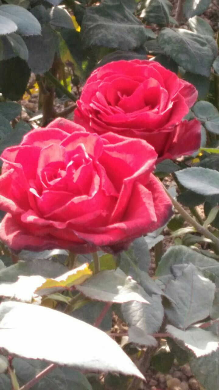 Rose is very beautiful flower tandra pinterest beautiful flowers rose is very beautiful flower izmirmasajfo