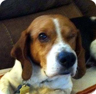 Pin By Melissa Petroski On Animals Beagle Pets Pet Adoption