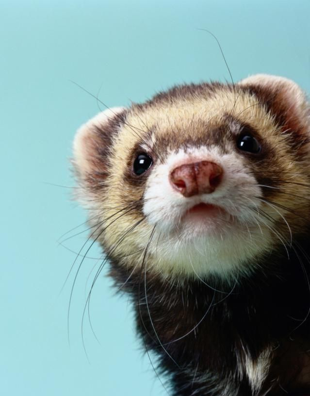 Does Your Pet Ferret Have A Tumor Pet Ferret Ferret Cute Ferrets