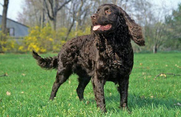 Meet the American Water Spaniel   American dog, Dog breeds ...